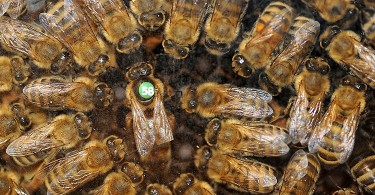 Queen and her court set hive regulations